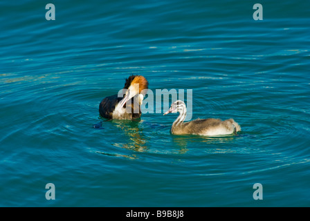 great crested grebe, Haubentaucher, jungtier, juvenile, water bird - Stock Photo