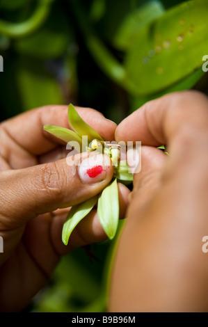 Pollenizing of Bourbon vanilla blossom at vanilla farm La Réunion France | Bestäuben von Vanilleblüten - Stock Photo