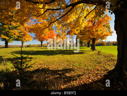 The brilliant fall colours of the maple trees in Southern Ontario - Stock Photo