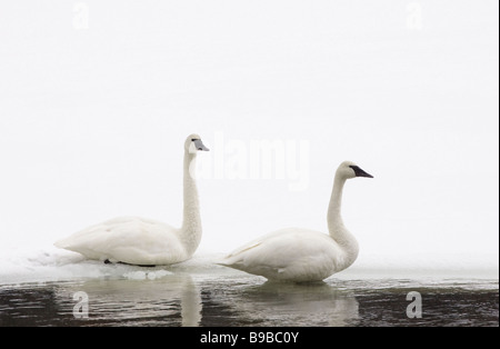 Pair of Trumpeter Swans Cygnus buccinator