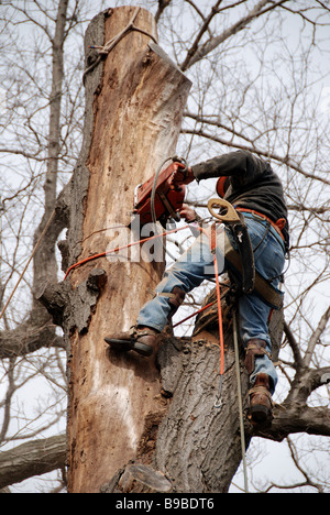 Dangerous job. A Canadian urban tree surgeon arbourist using a chainsaw to cut down a diseased oak tree. - Stock Photo