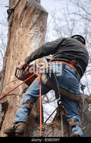 Dangerous occupations. A Canadian urban lumberjack using a chainsaw to cut down the trunk of a large diseased oak - Stock Photo