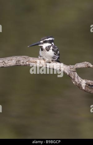 Pied Kingfisher Ceryle rudis Keoladeo Ghana National Park Bharatpur Rajasthan India BI018115 - Stock Photo
