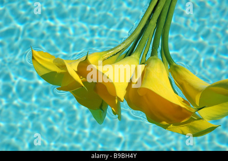 Yellow calla lilies floating in a pool of water - Stock Photo