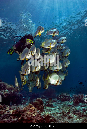 A girl scuba divier swims through sunbeams with a school of Circular Spadefish by the corals at Barracuda Point - Stock Photo