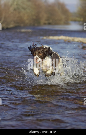 English Springer Spaniel (Canis lupus familiaris) running through shallow river - Stock Photo