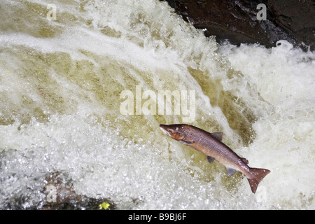 Atlantic Salmon (Salmo salar) leaping waterfall to reach spawning grounds - Stock Photo
