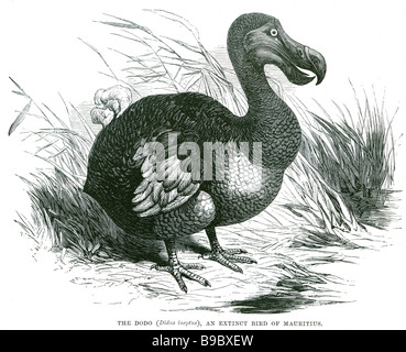the dodo didus ineptus an extinct bird of mauritius The dodo (Raphus cucullatus) was a flightless bird endemic to - Stock Photo