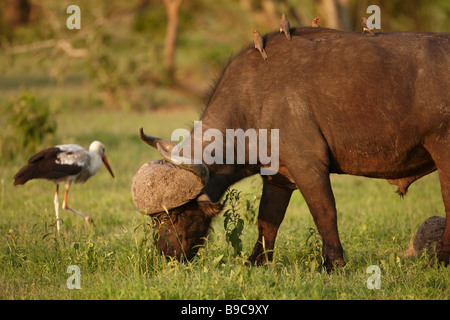 African buffalo with red billed oxpecker on its back and a white stork Kruger National Park South Africa - Stock Photo