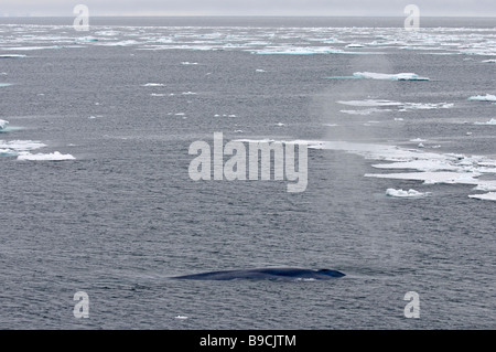 Blue whale Balaenoptera musculus blowing among arctic pack ice. Spitsbergen, Svalbard. - Stock Photo