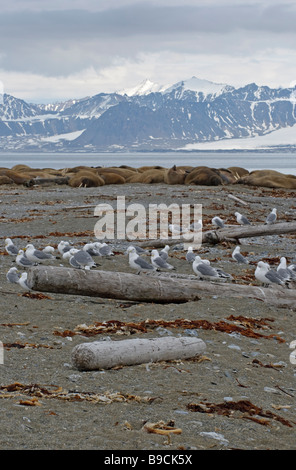 Kittiwakes Rissa tridactyla and walruses Odobenus rosmarus resting at Poolepynten, Prins Karls Forland, Spitsbergen. - Stock Photo