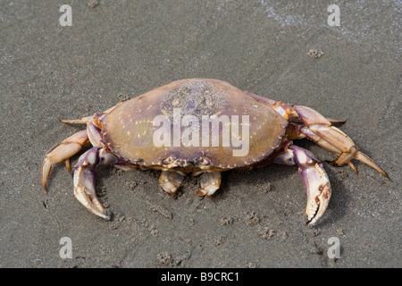 Dungeness Crab on Beach - Cancer magister on Long Beach, Pacific Rim National Park, Vancouver Island, British Columbia, - Stock Photo