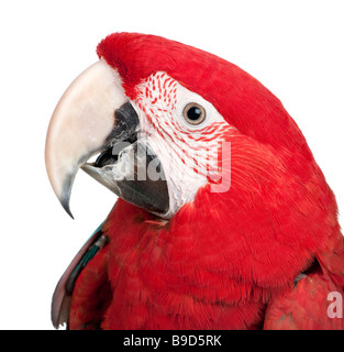 Green winged Macaw Ara chloropterus 18 months in front of a white background - Stock Photo