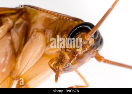 AMERICAN COCKROACH Periplaneta americana - Stock Photo