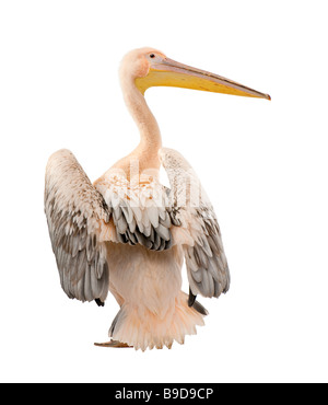 White Pelican Pelecanus onocrotalus 18 months in front of a white background - Stock Photo
