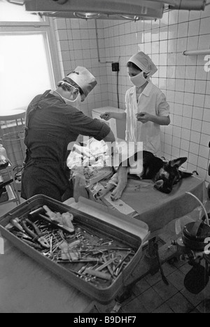 Veterinary surgeons operating on a sheep dog in a Moscow clinic - Stock Photo