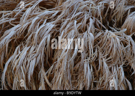 Grasses covered in frost, - Stock Photo