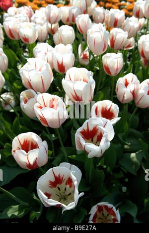 Close up of tulips in Britzer Garten, Berlin, Germany - Stock Photo
