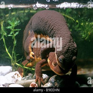 rough skinned Newts Taricha granulosa mating Native of Santa Cruz Mountains California USA - Stock Photo