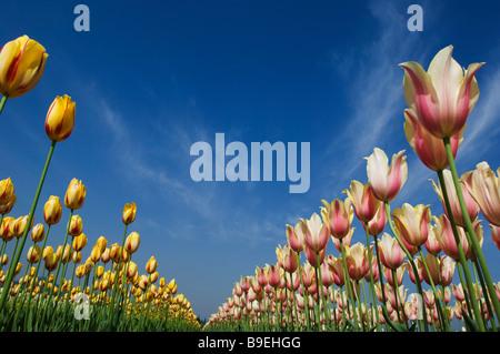 Low angle view of Tulips in a garden, Indira Gandhi Tulip Garden, Srinagar, Jammu And Kashmir, India - Stock Photo