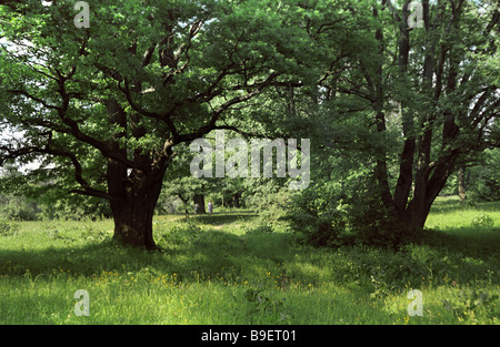 Mighty oaks on the forest edge - Stock Photo