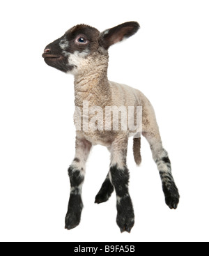 Black and white Lamb 15 days old in front of a white background - Stock Photo