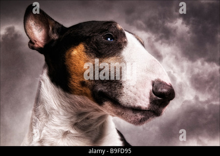 Close-up of Bull Terrier's face - Stock Photo