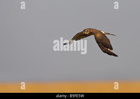 Montagu's Harrier (Circus pygargus) in flight - Stock Photo