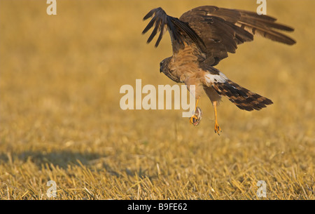 Close-up of Montagu's Harrier (Circus pygargus) flying over cornfield - Stock Photo