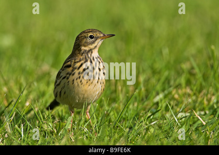 Close-up of Meadow Pipit (Anthus pratensis) in field - Stock Photo