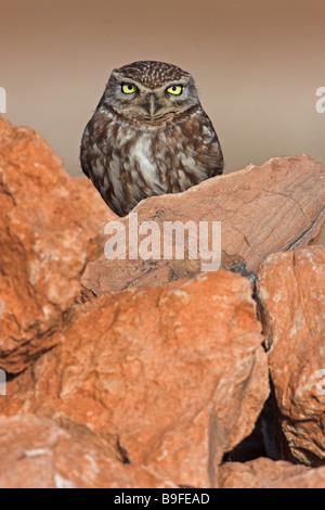 Close-up of Little owl (Athene noctua) on stone - Stock Photo