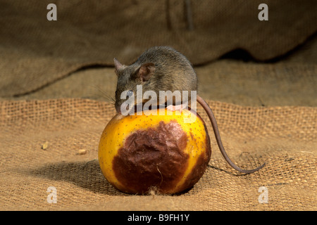 House Mouse (Mus musculus) sitting on rotting apple - Stock Photo