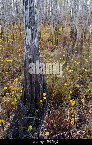 Bald cypress in hardwood hammock shelter wildflowers during dry season Everglades National Park Florida - Stock Photo