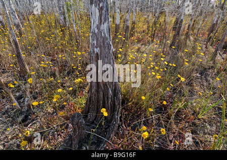Bald cypress in hardwood hammock shelter wildflowers during dry season Everglades National Park Florida - Stock Photo