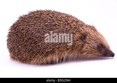 British isles Male Hedgehog on White Background - Stock Photo