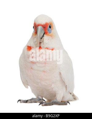 Long billed Corella Cacatua tenuirostris in front of a white background He look Similar in appearance to the Little - Stock Photo