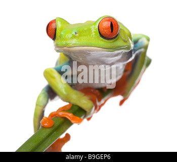 Red eyed Tree Frog Agalychnis callidryas in front of a white background - Stock Photo