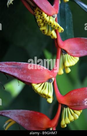 Heliconia collinsiana var collinsiana, Heliconiaceae, Honduras, South America - Stock Photo