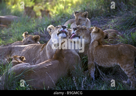 Group of lionesses and cubs licking and grooming each other Masai Mara National Reserve Kenya East Africa - Stock Photo