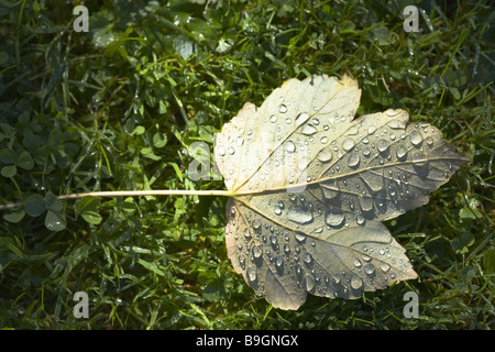 Meadow fall leaf maple dewdrops - Stock Photo