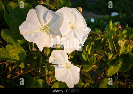Moon Morning Glory flowers grow on vines near shoreline Everglades National Park Florida - Stock Photo