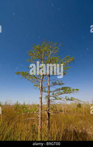 Time exposure under full moon captures star trails and bald cypress forest in sawgrass prairie Everglades National - Stock Photo
