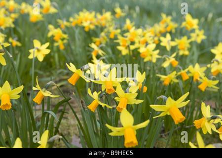 Meadow  jonquils - Stock Photo