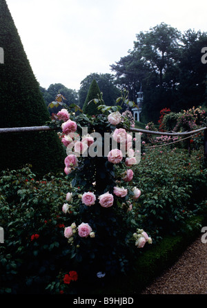 Rose Pierre de Ronsard photographed at Bagatelle Garden, Paris, France - Stock Photo