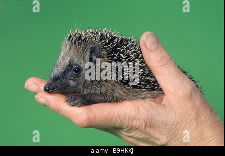 West European Hedgehog (Erinaceus europaeus) on a hand - Stock Photo