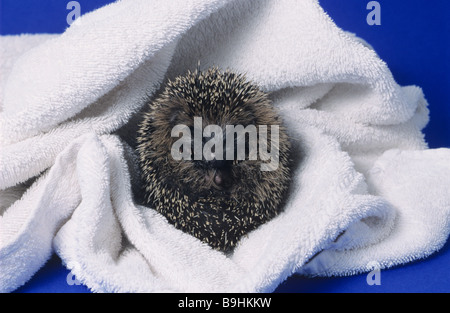 West European Hedgehog (Erinaceus europaeus) wrapped in a white towel after bathing - Stock Photo