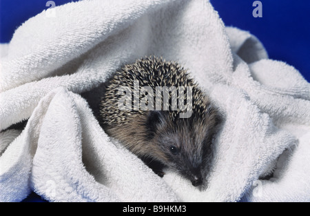 West European Hedgehog (Erinaceus europaeus) on a white towel after bathing - Stock Photo