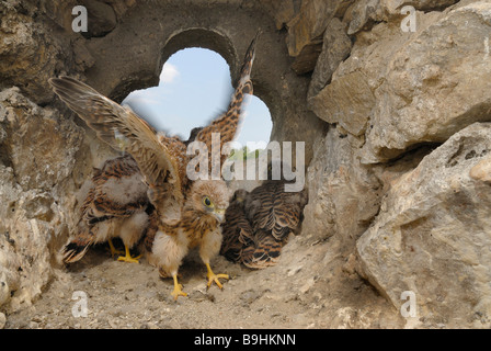 Fledgeing Common Kestrels (Falco tinnunculus) in the nest, stroking of wings is being practiced, muscular training - Stock Photo