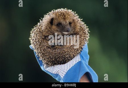 West European Hedgehog (Erinaceus europaeus), foam on its snout, held by a gloved hand - Stock Photo