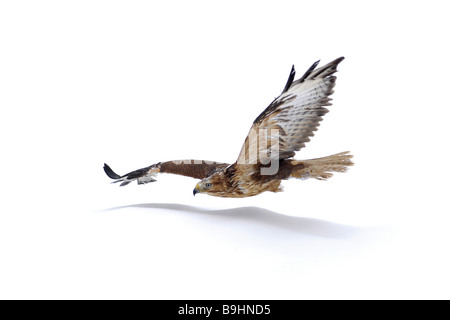Long-legged Buzzard (Buteo rufinus), with reddish tint, in flight - Stock Photo